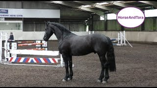 Friesian horse loose jumping at Yorkshire Equestrian Centre