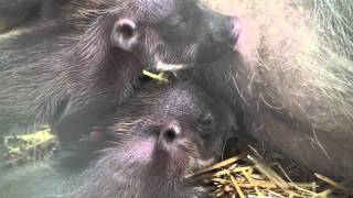 Warthog Babies at The Maryland Zoo