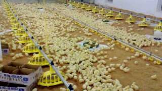 cara ternak ayam filipina