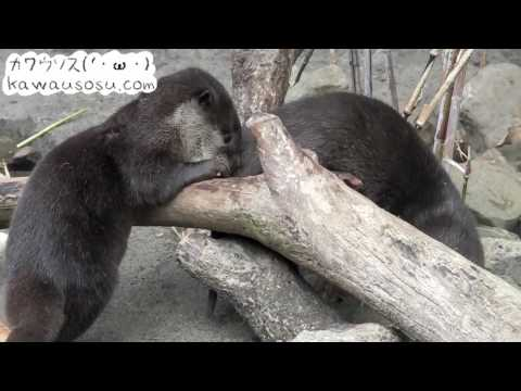 Family of River Otter at Tama Zoological Park / 多摩動物公園のコツメカワウソ家族