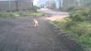 golden puppy (BAILEYS) pintar.3GP