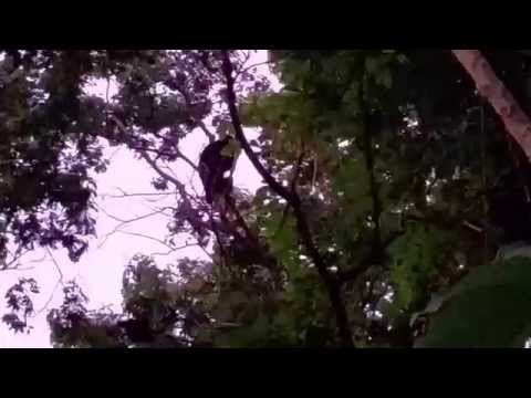 Amazing Howler Monkeys at The Oaks, Tamarindo, Costa Rica