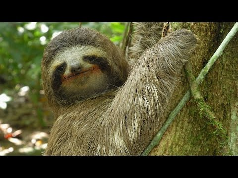 Three-toed Sloth: The Slowest Mammal On Earth | Nature on PBS