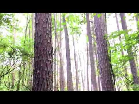 Pine tree forest - collecting pitch and fatwood
