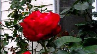 Gardening Journal Pjm - Video 5 Roses.avi