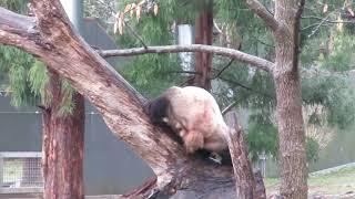 Twenty-one year old Giant Panda Tian Tian Has Skills