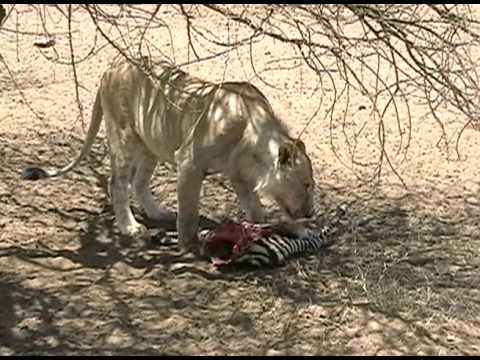 Lion Zebra Baby Lion Eats Baby Zebra
