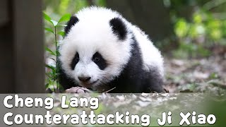 Panda Cheng Lang's Growing-up Diary Episode 15 | iPanda