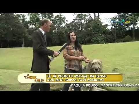 Maior e menor raça de cães do mundo!