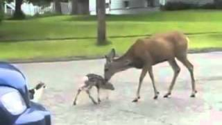 Deer vs Dog and Cat    with voiceover      YouTube
