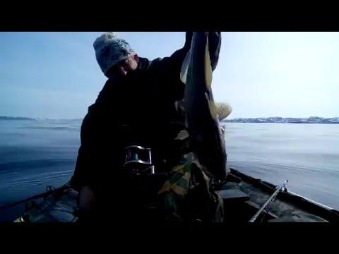 видео ловля трески в баренцевом море 2015