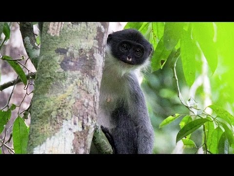 """Extinct"" Monkey Miller's Grizzled Langur Found in Borneo"
