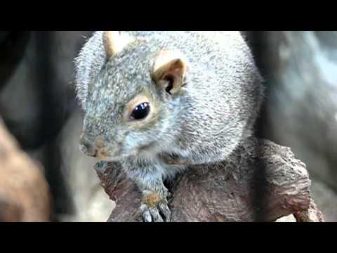 鳴くハイイロリス。Singing cat squirrel.