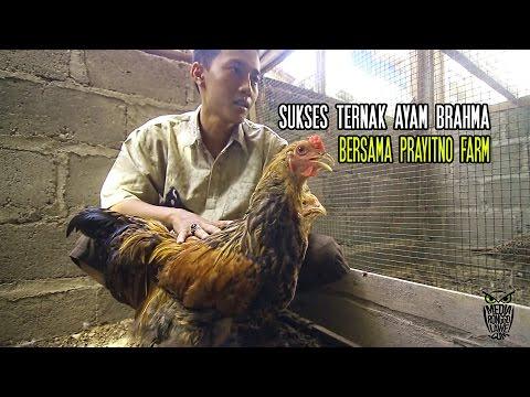KISAH SUKSES : Jatuh Bangun Ternak Ayam Brahma Bersama Prayitno Farm