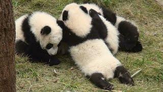 Seven Panda Babies  熊猫 パンダ