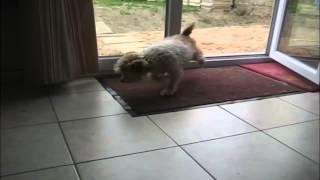 玄関マットで足ふきをするワンちゃんが賢過ぎる♪