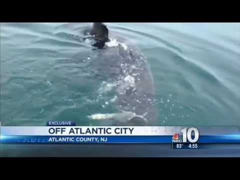 Massive Great white shark circles boat off Atlantic City NJ - June 2013