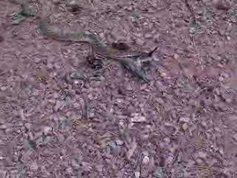 Rattlesnake catches bird Part 1 Video