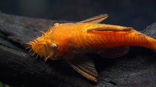How to Breed Bristlenose Plecos. Super Red Bristlenose Plecostomus Spawning Plecos.