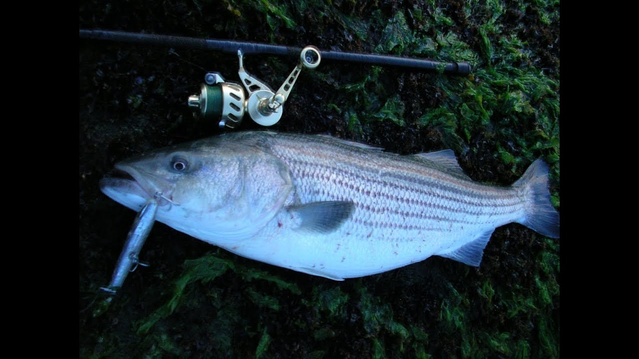 Topwater striped bass fishing with cordell pencil poppers for Topwater bass fishing