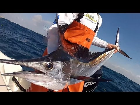 Nice Sailfish Kite Fishing Live Bait South Florida