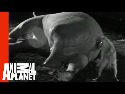 Man gets head stuck in Elephants butt - VidInfo