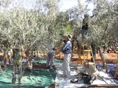 JAI - ATG Olive Picking Program - 19 - 28 October 2013