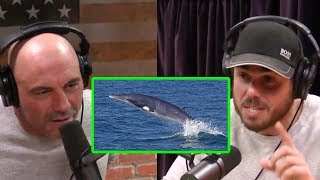 Joe Rogan - Ross Edgley's Amazing Story of Swimming With a Whale