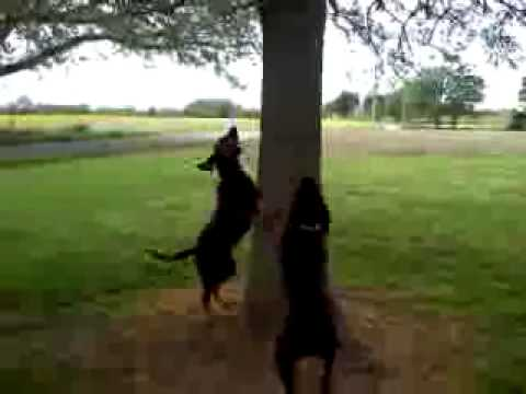 Coon Dogs Treeing Video