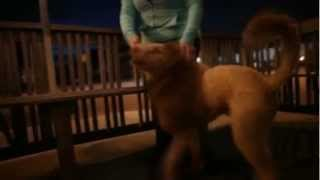 Lion Dog Loose - Extreme Grooming