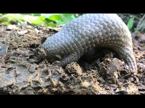 Baby pangolin or Palawan scaly anteater eating termites.
