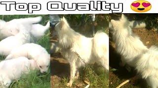 Pomeranian Rottweiler puppies for sale    jsk pets   