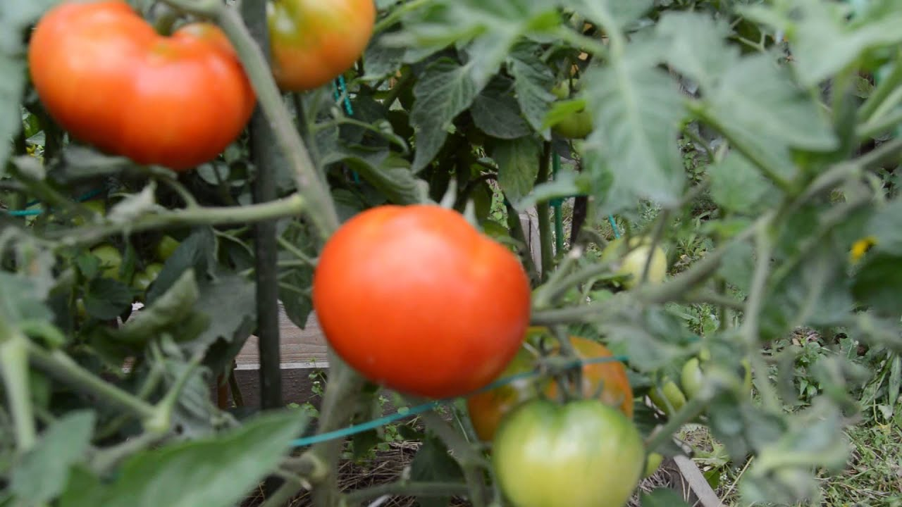 Выбираем сорта томатов байкал инфо.