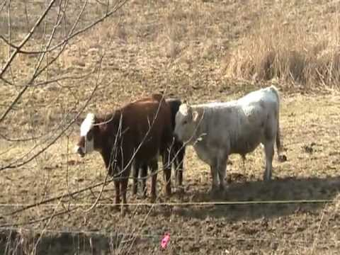 Cow Porn With Narration Funny video