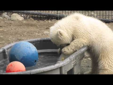 polar bear playing-bebek kutup ayisi