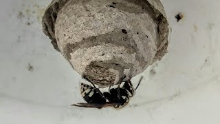 Bald Faced Hornet Queen Adventures **New Nest** Update 3