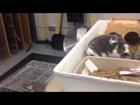 Chantilly academy animal science rabbit video