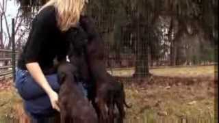 Dogs - Afghan Hound