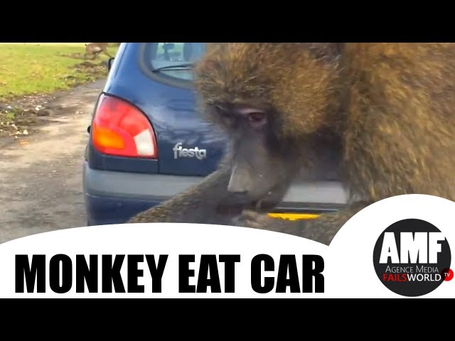 monkey eat car jets
