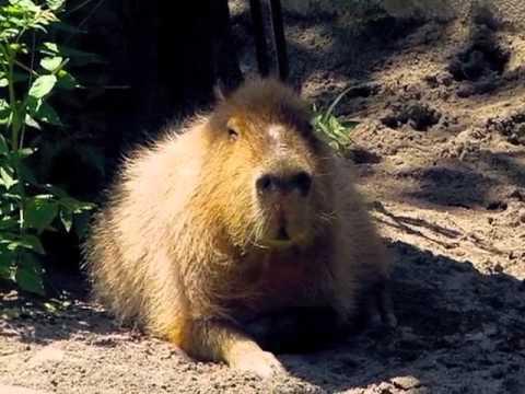 上野動物園 カピバラのタンさん