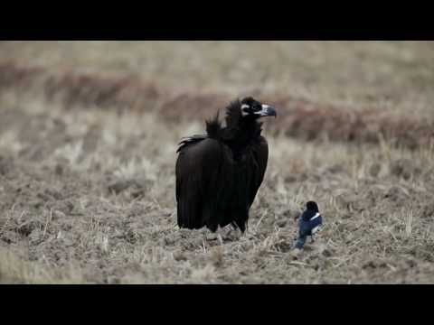 5d Mark2  -  Cinereous Vulture[Black Vulture] Video