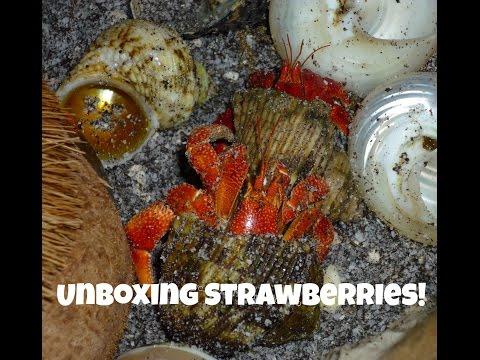 Live hermit crabs unboxing
