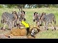 Why Are Animals Afraid Of Zebra Zebra Vs Lion mp3