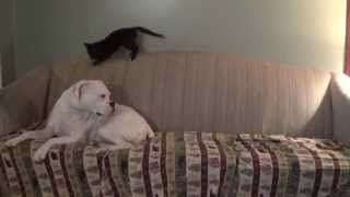 Boxer Dog Ignores Playful Kitten!