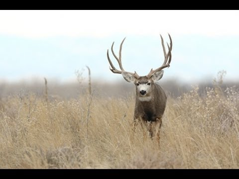 Mule Deer Bucks in the West - MossBack
