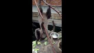 Ленивец в Зоопарке Будапешта / Sloth in Budapest Zoo / July 2013