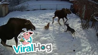 Mother Moose Tramples Dog || ViralHog