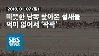 따뜻한 남쪽 찾아온 철새들..먹이 없어서 '팍팍' / SBS / 자막뉴스