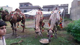 Qurbani Eid Videos 2018 - Wapda Town Sahiwal Qurbani Bulls and Camels
