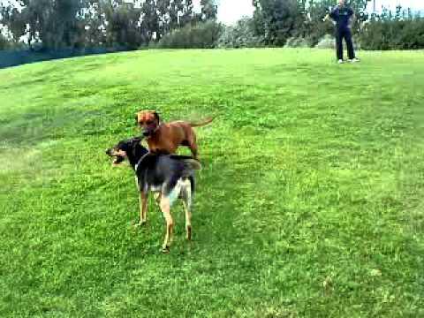 Εκπαιδευση σκυλων - παιχνιδι Ridgeback,Peruvian dog - k9training.gr